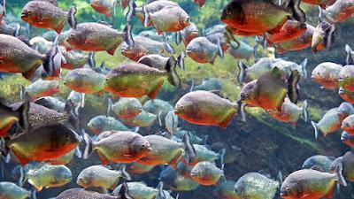 Temperamen Red Bellied Piranha