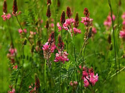 Onobrychis%2Bviciifolia.jpg