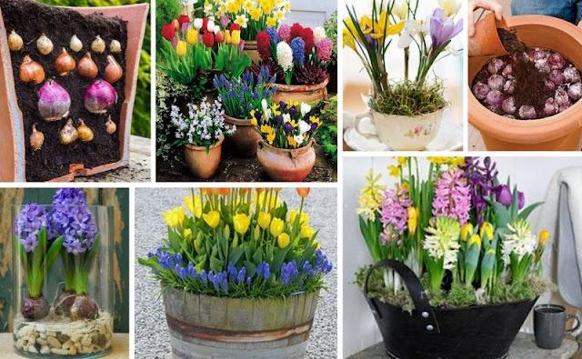 ΚΗΠΟΥΡΙΚΗ: Πως θα φυτέψετε Βολβούς