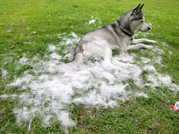 Siberian-Husky-shedding-coat