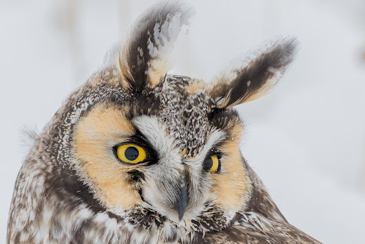 Rescuing a Long-eared Owl