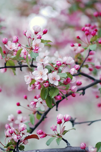Beautiful spring cherry blossoms