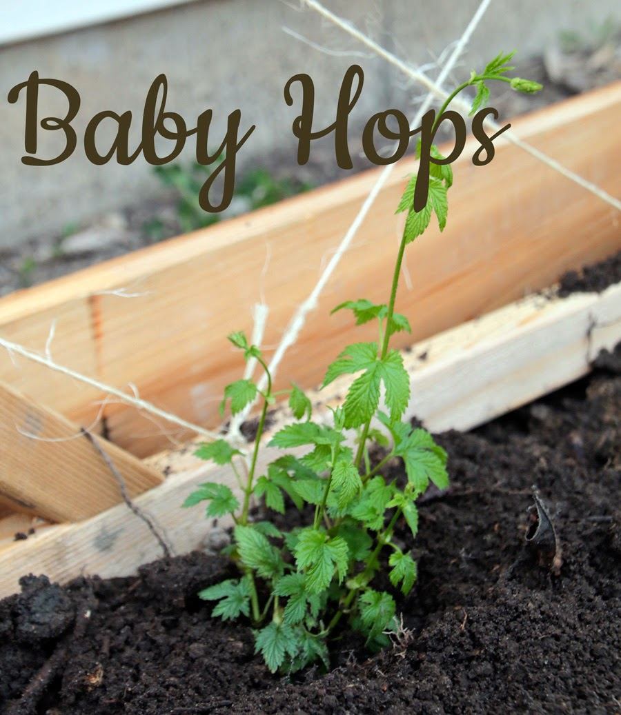Growing Backyard Hops