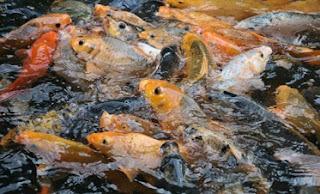 kolam ikan mas di rumah,budidaya ikan mas di kolam beton,ternak ikan mas di kolam rumah,cara membudidayakan ikan mas,teknik budidaya ikan mas,cara memelihara ikan mas di kolam tanah,