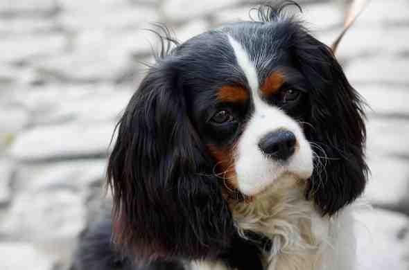 cavalier-king-charles-spaniel-كلب-كافلير-كينج-تشارلز-سبانيل