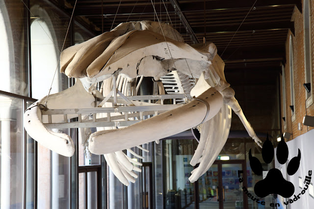 squelette-rorqual-commun-musee-histoire-naturelle-venise