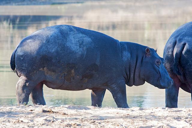 famiglia ippopotami kruger safari sud africa cucciolo