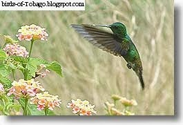 Copper-rumped hummingbird (Amazilia tobaci) hummingbird in flight