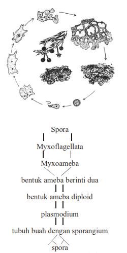 daur hidup fuligo varians, bakteri protista, ciri protista, contoh protista, protista jamur
