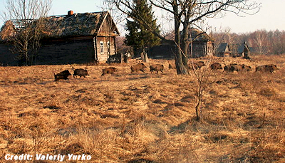 Wild Boar Inside Chernobyl's Exclusion Zone