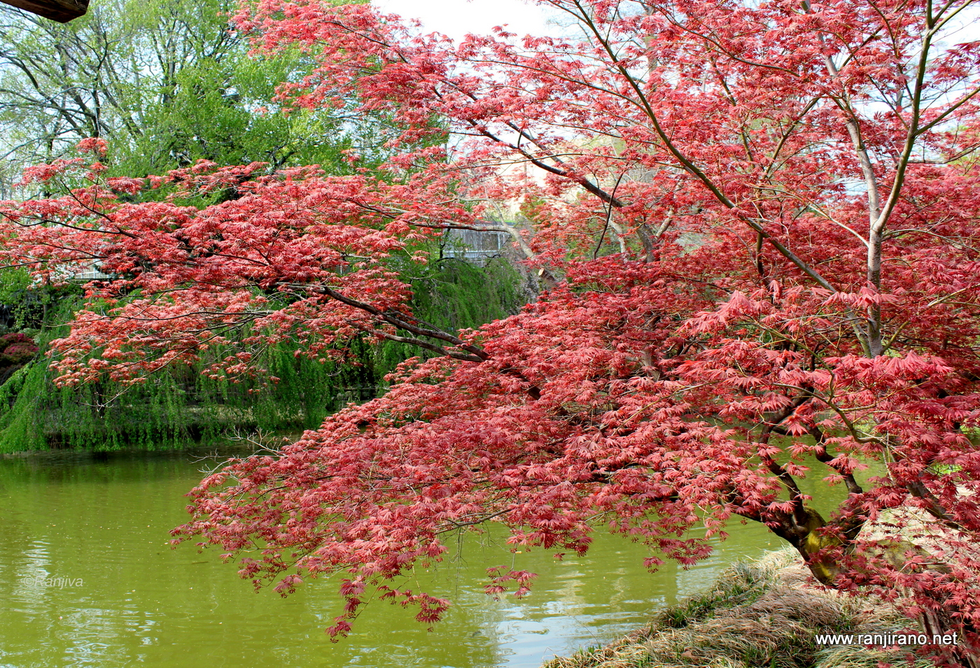 Un jardin japonais new york brooklyn botanic garden for Jardin new york