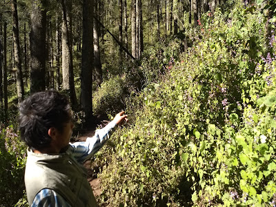Monarch butterfly preserve sierra chincua michoacan mexico oyamel fir reforestation