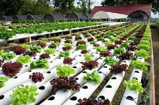 Green Hydroponics Lettuce