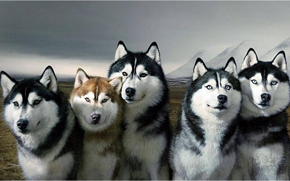 Image result for Husky собака красивый