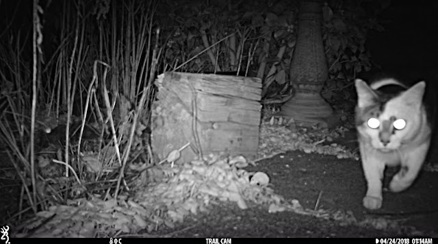 Browning Strike Force trail camera cat