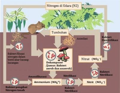 Perbedaan Siklus Nitrogen dan Siklus Karbon, Siklus Nitrogen