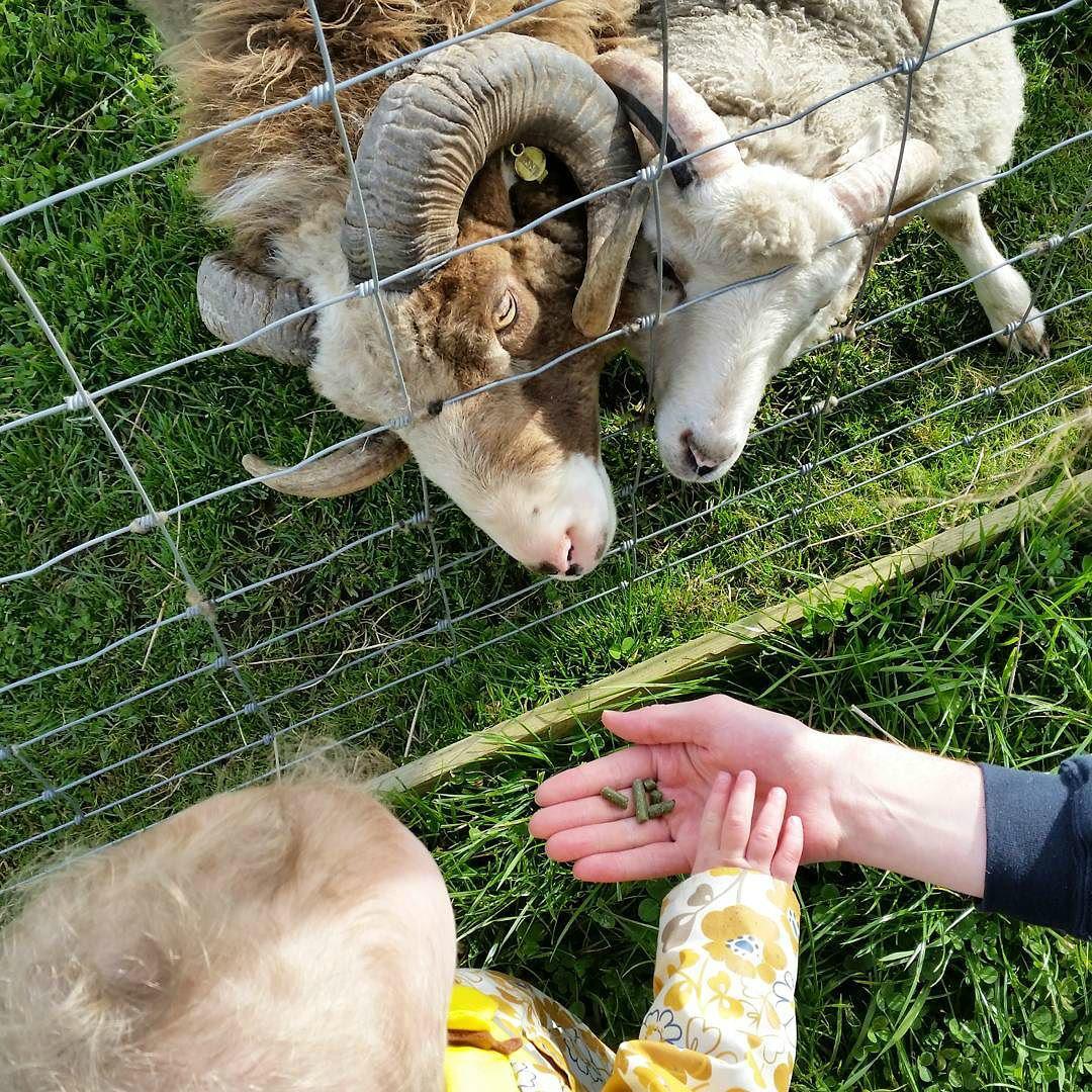 Feeding rams