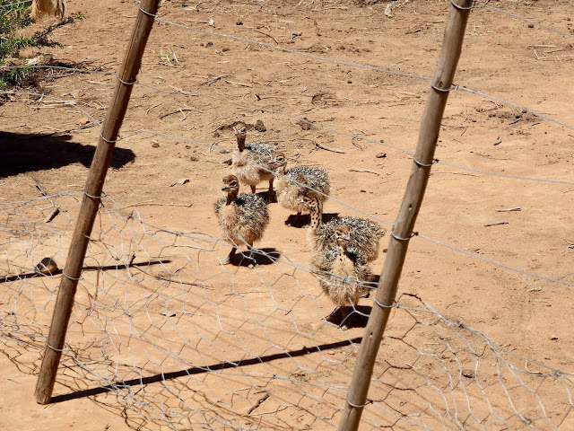 Baby ostriches at Safari Ostrich Farm, Oudtshoorn, South Africa