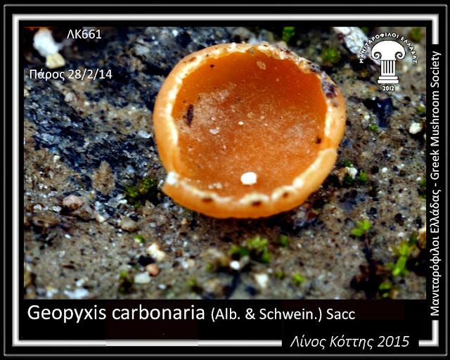 Geopyxis carbonaria (Alb. & Schwein.) Sacc.