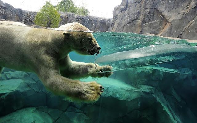 Foto van een ijsbeer in het water