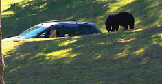 Bear strolls through Riverside Cemetery