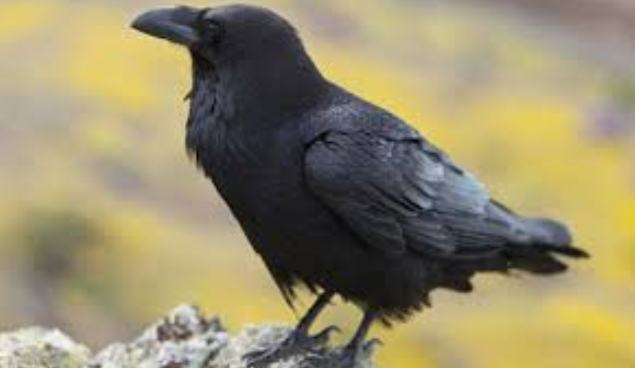 Kuş, Karga