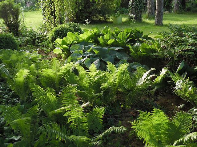 ogród leśny - paprocie, hosty