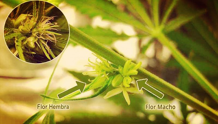 Plantas hermafroditas
