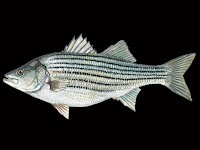 Striped Bass Fish Pictures