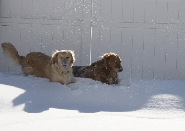 golden retriever dogs in snow #wordlesswednesday
