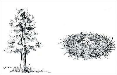 nido de Gavilán común Rupornis magnirostris