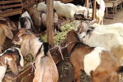 Panduan Umum Ternak Kambing, Tahap Awal Merintis Usaha yang Menguntungkan