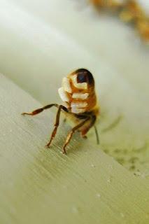 Resultado de imagen de glandula cerera abeja