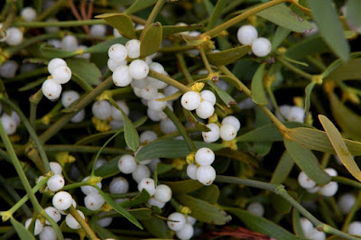 Mistletoe is a natural blood pressure regulator, regardless of whether it was high or low. Regulates the heartbeat, strengthens the walls of the blood vessels, and influences the circulation.