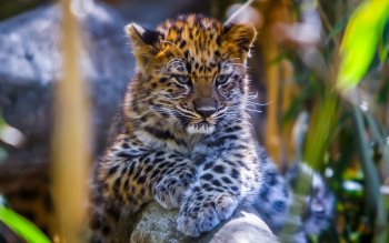 Wallpaper: Baby Leopard and Mom Leopard