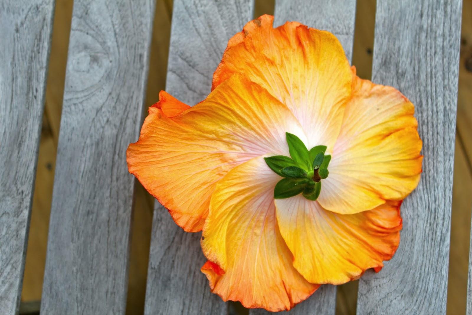 Florez Nursery Hibiscus rosasinensis Adrenalin