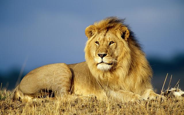 Afrički lav download besplatne pozadine za desktop 1280x800