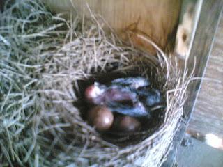 Burung Murai Batu - Perawatan Anakan Burung Murai Batu Dari Setelah Menetas Sampai Umur 25 Hari - Penangkaran Burung Murai Batu