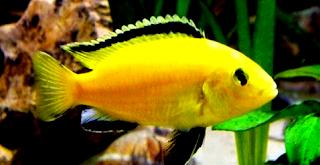 Tips cara budidaya ikan lemon dan teknik pemeliharaan
