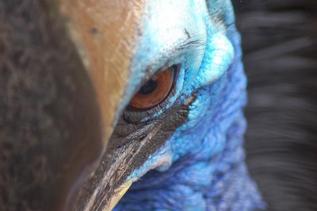 cassowary+most+dangerous+bird+in+the+wor