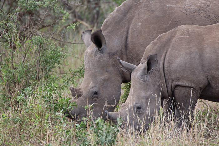 Nashörner mit Horn