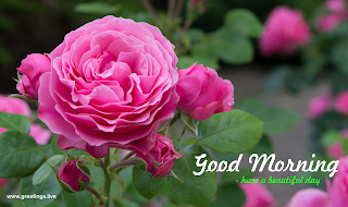 Beautiful pink rose wishes with good morning have a beautiful day message