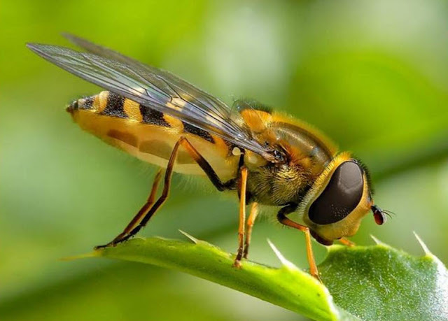 Honey Bee - Facts, information and pictures 5