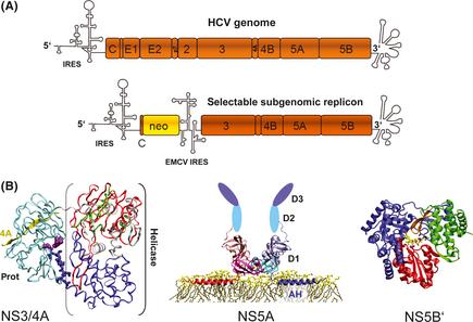 hepatitis c virus structure pdf free