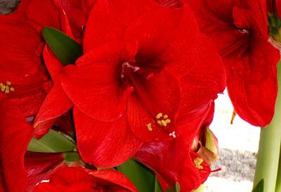 hình ảnh đẹp hoa huệ đỏ và hoa huệ trắng