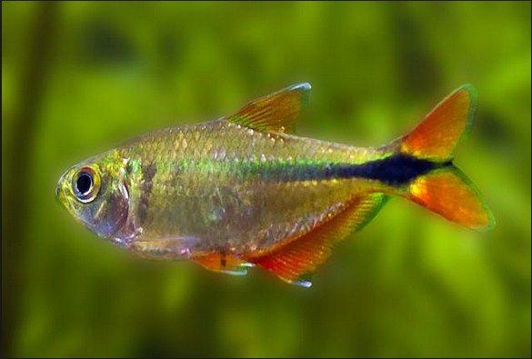 harga Ikan Glowlight Tetra