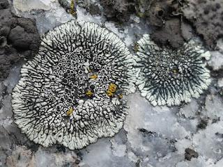 Dimelène des montagnes - Dimelaena oreina