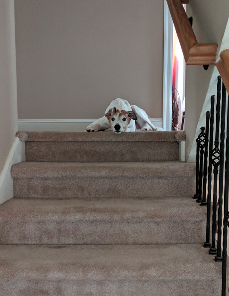 image of Dudley the Greyhound lying at the top of the stairs, looking down at me