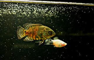 Makanan Ikan Oscar Cepat Besar