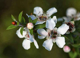 Manuka Honey Benefits